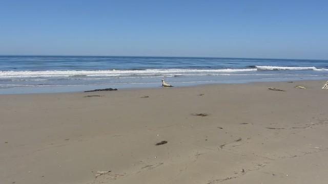MVI_7166 california sea lion 26s east haskell beach