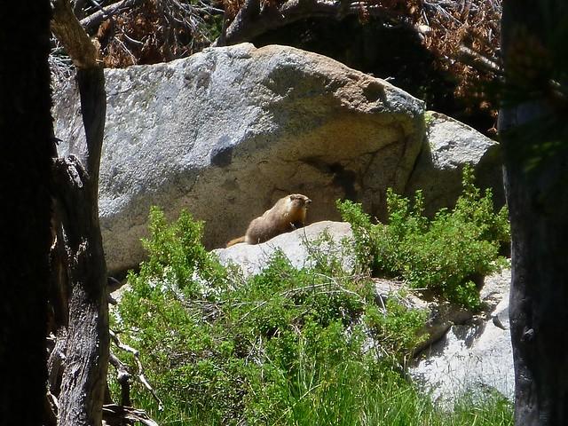 glimpse of marmot
