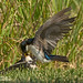 Tree Swallow feeding fledged chick on the ground _GS18568 by WildImages