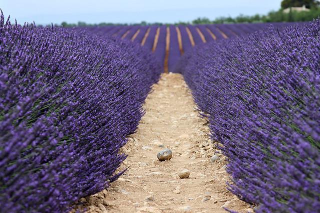 ProvenceLavender11
