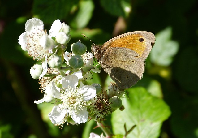 27617 - Meadow Brown