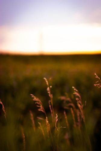sunset summer field grass minnesota golden evening cornfield midwest estate farm country july pasture julio verano campo grasses backlit twincities plains luglio nikond80