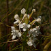White Fringed Orchid-1.jpg