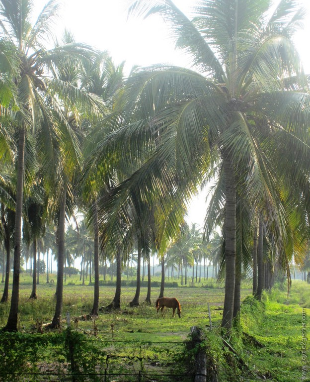 Horses roam freely among coconut trees.