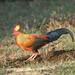 Sri Lanka Junglefowl (David Allison)