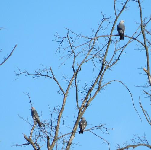 Loveland Mississippi Kites
