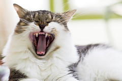 [Free Images] Animals 1, Cats, Yawn, Animals - Open One's Mouth ID:201208131000