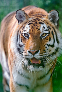 The same tigress with open mouth