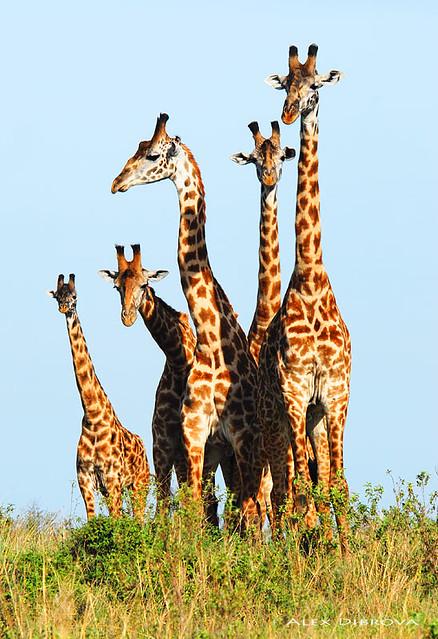 Family of giraffes | Flickr - Photo Sharing!