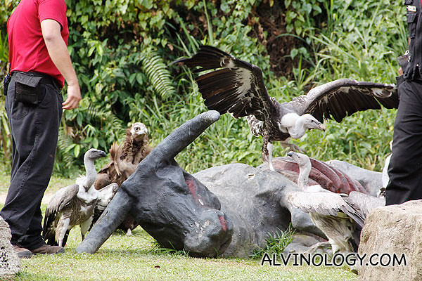 Showcasing many different species of vultures