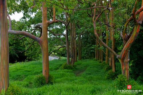 leica hawaii rainforest rangefinder maui fx rf roadtohana m9 ulumalu leicam9 rainboweucalyptustrees agm9 summicron35mmlens