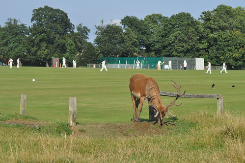 Deer and cricket in Bushy Park