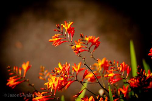 Montbretia Flowers