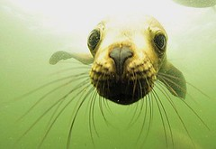 Diving with sea lions in Peru with Nature Expeditions (6)