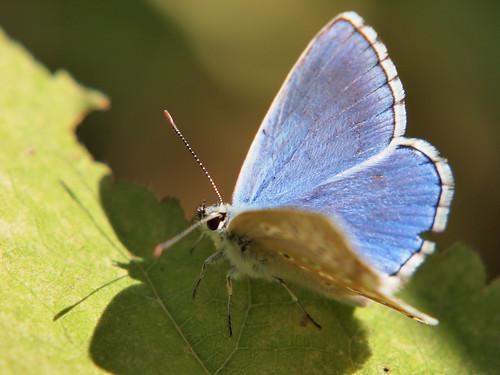 Farfalla azzurra by Alessandro Ronchi