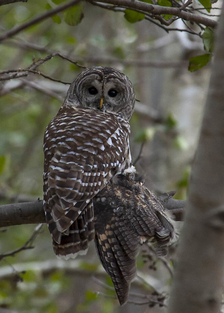 Toronto and Southern Ontario Birding • View topic - Barred ...