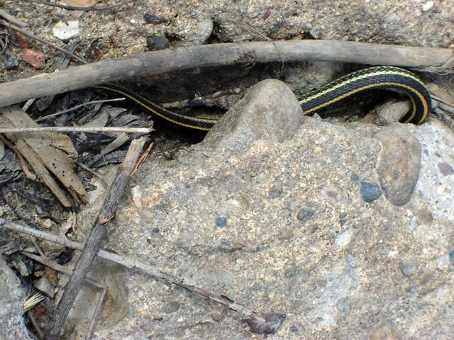 2 Common Garter Snake At My Feet Flickr Photo Sharing