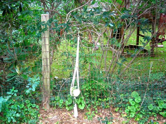 Passiflora caerulea - Blue Passion Flower, Hardy Passionflower, Passion Vine & Hoya compacta - Indian Rope/Hindu Rope Wax Plant