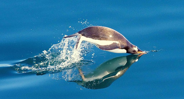 Antarctic Wildlife: Gentoo Penguin swimming