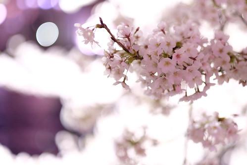 Sakura bright bokeh