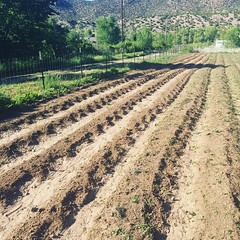 flood irrigation of landrace chile peppers that have been grown here, in this valley bottom since before thomas jefferson #acequia #ditchirrigation