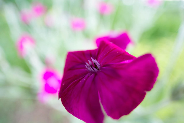 Rose Campion Close-up