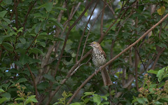 Brown Thrasher (3 of 5)