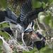 Heron Two Chicks Feeding Plus One