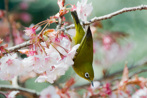 2012 White-eye and Cherry blossoms 10