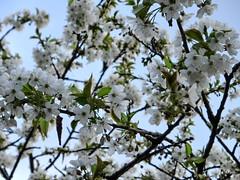 è più bianco il fiore o il cielo?