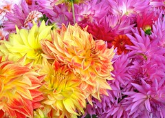 asterales(0.0), annual plant(1.0), dahlia(1.0), flower(1.0), plant(1.0), flora(1.0), chrysanths(1.0), pink(1.0), petal(1.0),
