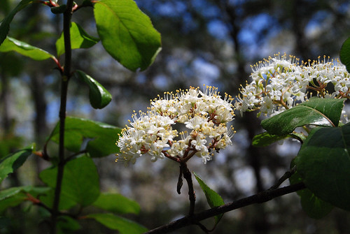 Rusty Black Haw flowering at Piney Creek Wilderness on March 31, 2012