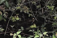 Buscant caimans de nit (un fracàs)