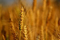 Wheat ..