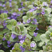 Glechoma hederacea- ground ivy, creeping charlie