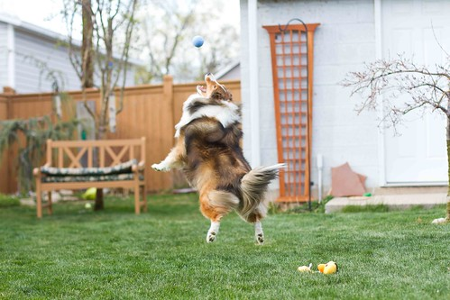 bailey the flying sheltie dog