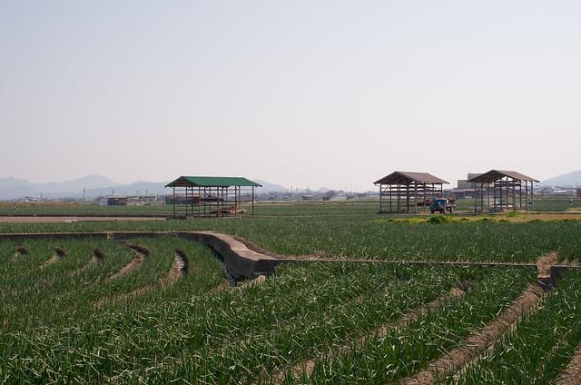 淡路島 たまねぎ畑