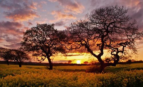 無料写真素材, 自然風景, 樹木, 田園・農場, 朝焼け・夕焼け, 菜の花・アブラナ
