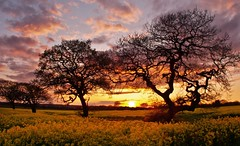 [Free Images] Nature, Trees, Field / Farm, Sunrise / Sunset, Rapeseed / Canola ID:201204292000