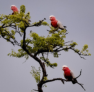 galahs in a gidyea tree (Explored)