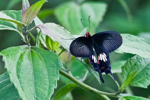 butterfly at tioman