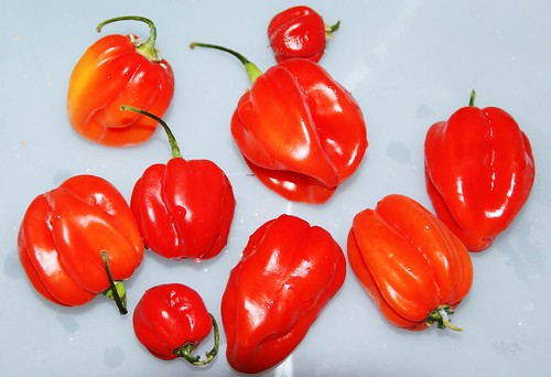 Scotch bonnets by PhylB