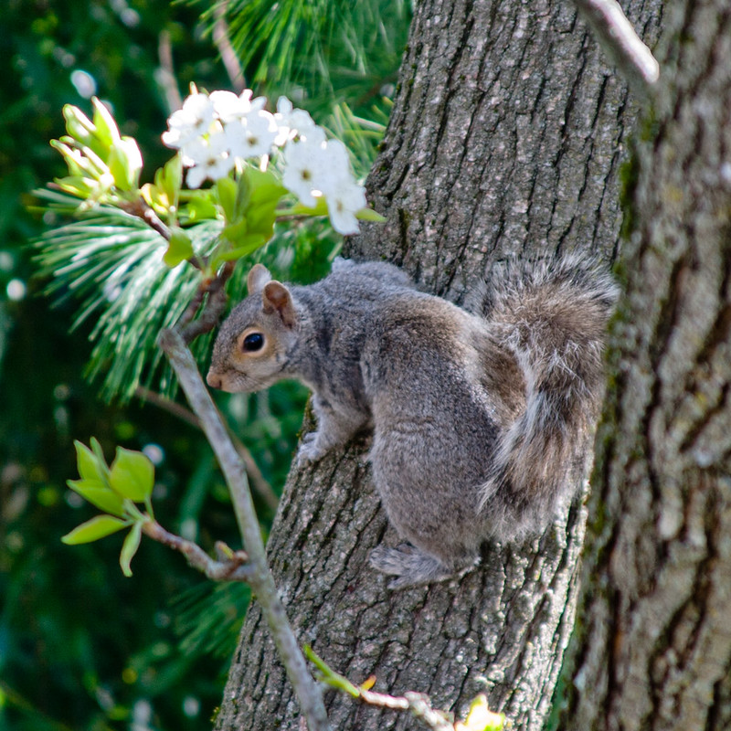 CS591 Squirrel on Pear Tree