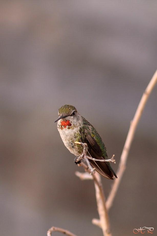 Hybrid Hummingbird 062512