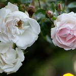 Rose Night 2012