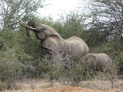 Elephant - Mpala Farm 2