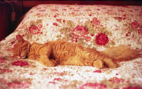 無料写真素材, 動物 , 猫・ネコ, 寝顔・寝姿