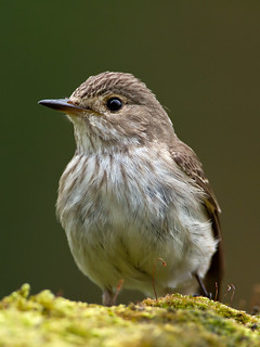 IMG_7001 Spotted Flycatcher