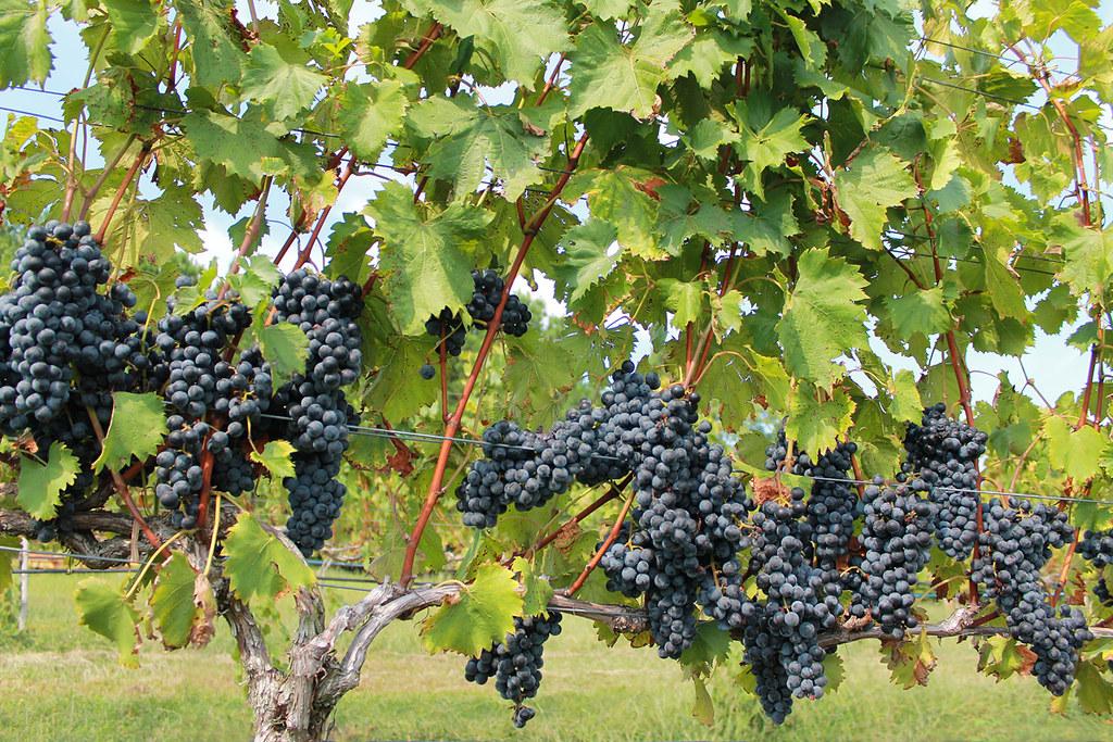 Ripe grapes at Silk Hope Winery