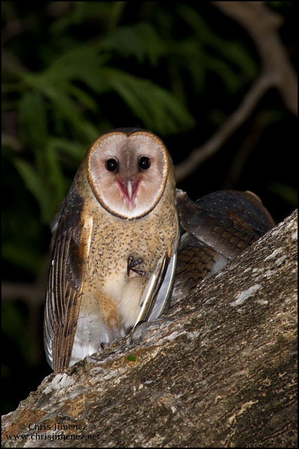 Barn Owl Juvenile | Fl...